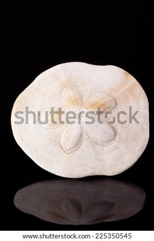 seashell of armor of the sea urchin on black background macro - stock photo