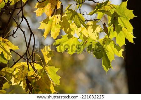 Seasonal background image with autumn maple leaves. - stock photo