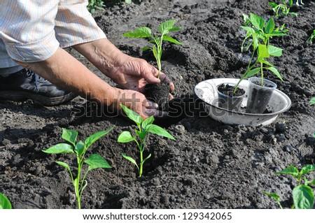 senior woman planting a pepper seedling in the vegetable garden - stock photo
