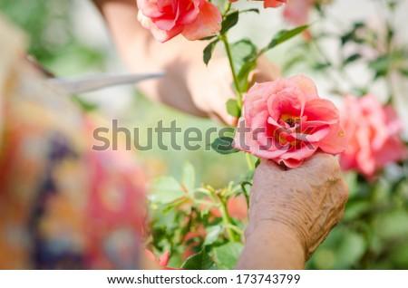 Senior woman's hand with garden roses - stock photo