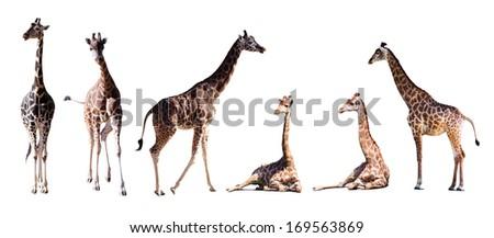 Set of few giraffes. Isolated over white background - stock photo