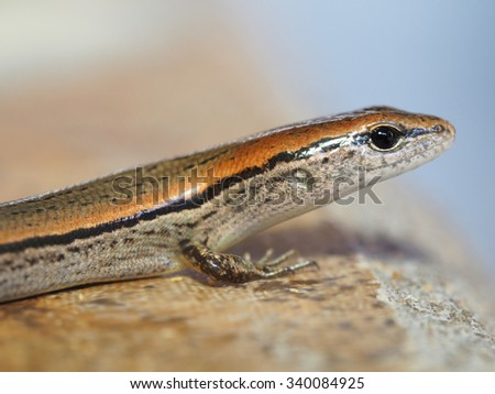 Shallow Depth of Field Portrait of a Ground Skink  - stock photo