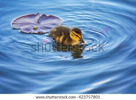(SHALLOW DOF) a baby duckling swimming in a pond at a local park with a lily pad floating behind in the water  - stock photo
