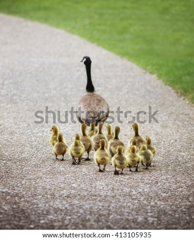 (SHALLOW DOF on babies) a cute family of geese walking on a pebble stone path in a local wildlife park with a grass as a leading edge  - stock photo