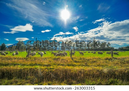 Sheep among New Zealand hills, Beautiful Landscape ,Green filed and Blue sky , on the Way to Christchurch New Zealand  - stock photo