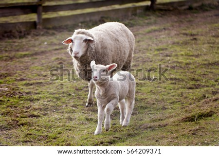 Sheep and lamb in the field
