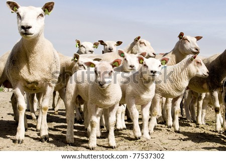 sheep and lambs - stock photo