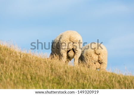 2 sheep in New Zealand - showing off their backside - stock photo