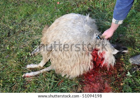 Sheep slaughtered