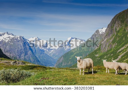 Sheeps and snowy mountains. Norway landscape - stock photo