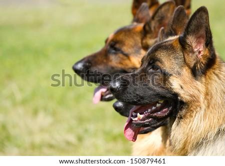 Shepherd Dogs sitting on the green grass  - stock photo