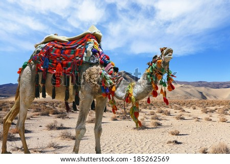 """Ship"" of the desert. Brightly decorated camel on a sand waves of endless desert"