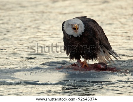 Shouting Bald Eagle on snow.  Bald Eagle eats a salmon sits on snow to river Chilkat. - stock photo
