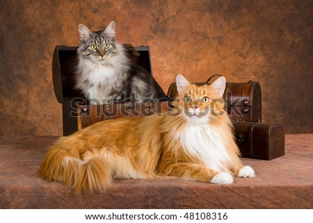 2 Show champion Maine Coon cats with treasure chests on brown mottled background - stock photo