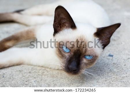 Siamese cat lie leisurely on a floor. - stock photo