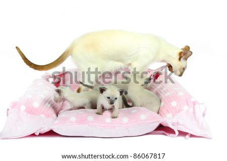 5 Siamese kitten, on a rose pillow, 4 weeks old, in front of white background - stock photo