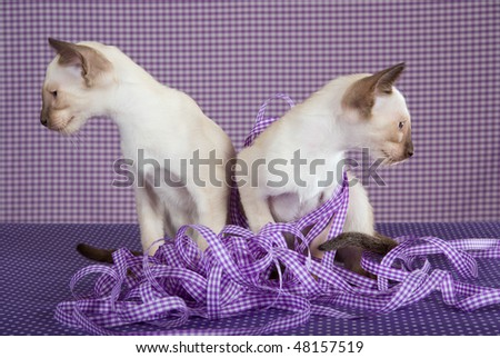2 Siamese kittens looking away from each other, on purple settings - stock photo