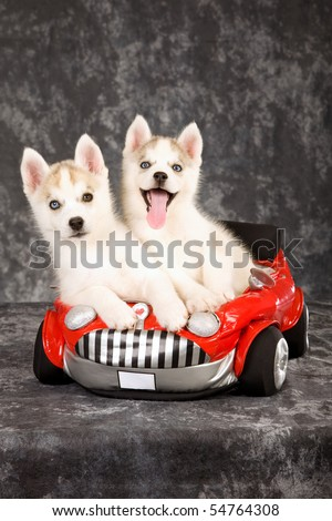 2 Siberian Puppies having fun in red toy car - stock photo