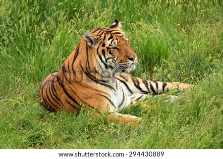 siberian  tiger relaxing in the grass at  the wild animal sanctuary in keenesburg,  colorado    - stock photo