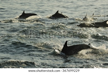 Silhouette of Dolphins, swimming in the ocean  and hunting for fish. The jumping dolphins comes up from water.  - stock photo