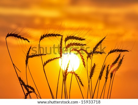 Silhouette of wheat on a orange sundown background.