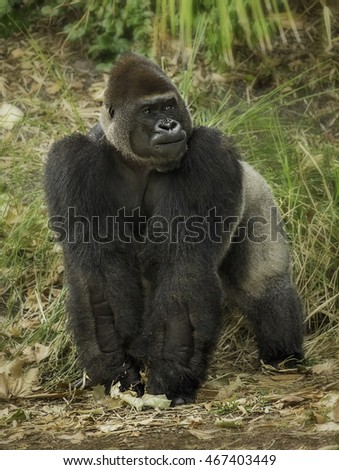 Silverback Gorilla - assumes an inquisitive stance.