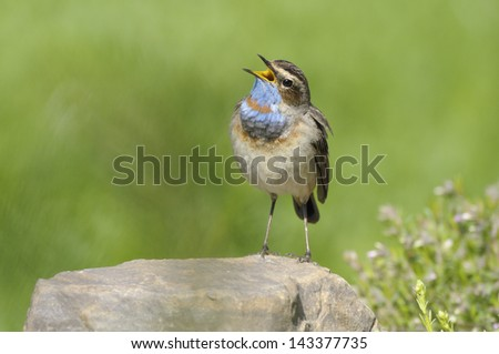 singing bird on stone