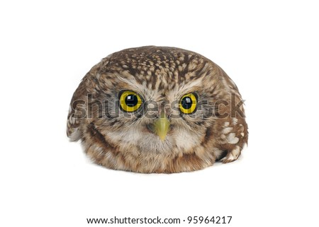 sitting brownie  horned owl on a white background - stock photo