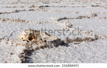 skull of the animal on the white   Salt desert Uyuni, Bolivia - stock photo