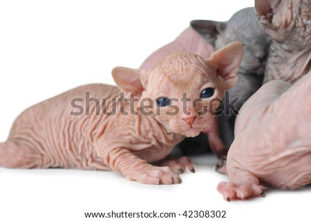 small egyptian bald cats on white background