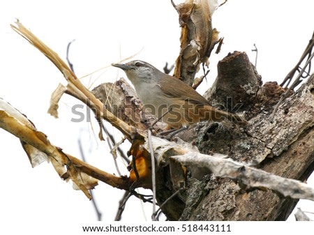 Small Isthmian Wren gathering nesting material from an old tree trunk