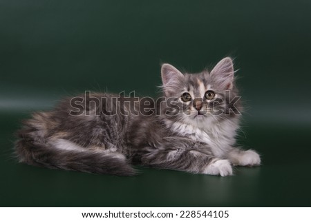 Small Siberian kitten on green background.Cat lie with. - stock photo