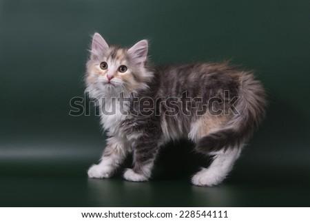 Small Siberian kitten on green background.Cat stand. - stock photo
