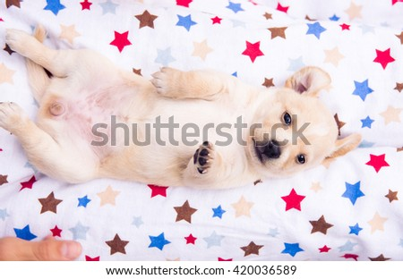 Small Tan Puppy Rolling on Blanket Outside - stock photo