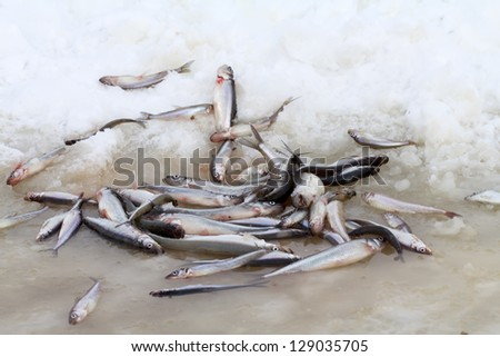 smelt of the Baltic Sea in the winter - stock photo