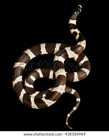 snake isolated on black background__with clipping path - stock photo