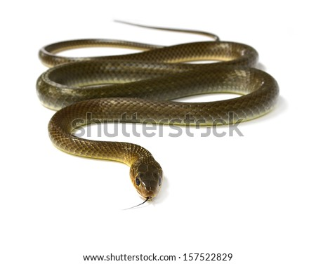 snake isolated on white - stock photo