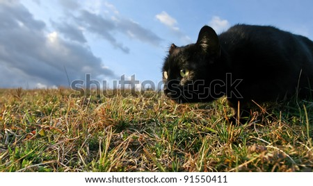 Sneaking black cat. 	Black domestic cat on the meadow is sneaking to hunt for food - stock photo
