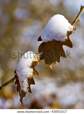 .Snowy oak leaf in the forest. - stock photo