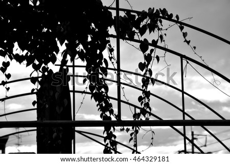 Soft focus Ivy on the steel structure for background, black and white tone.