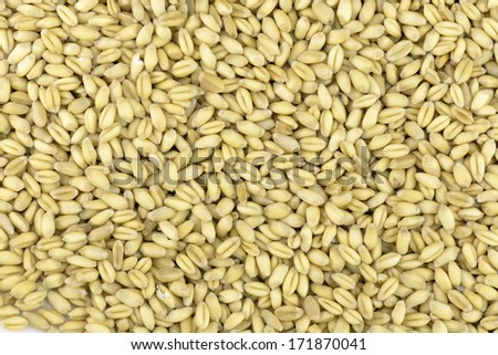 soft wheat grains - stock photo