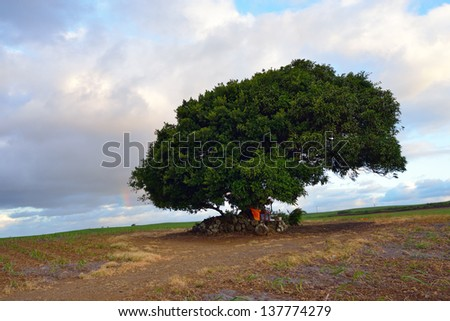 Solitary big tree at sunset time in sugarcane farmland, Mauritius - stock photo