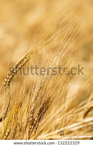 some ears wheat photographed by a close up. small depth of sharpness