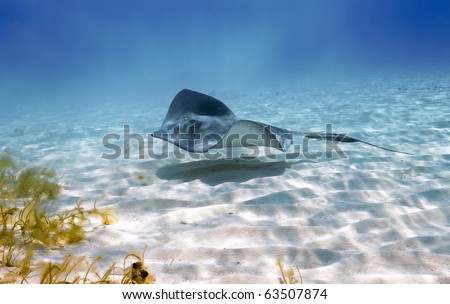 Southern stingray glides stealthily along the sandy sea bottom at Stingray City, Grand Cayman. - stock photo