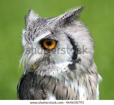 Southern White Faced Scops Owl (Male) Bird Of Prey . Looking to the left . Green natural background.