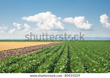 soy field in early summer - stock photo