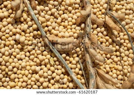 Soybean Harvest - stock photo
