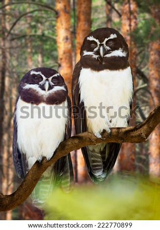 Spectacled Owls couple  at  forest
