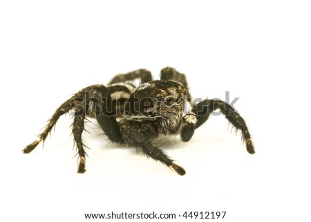 spider isolated on white background close-up