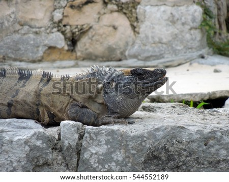 Spiny tail iguana on rocks in Tulum, Mexico